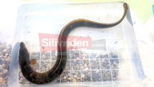 Silivri'de 'Deniz Yılanı' yakalandı