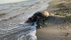 Silivri'de Caretta Caretta kıyıya vurdu!