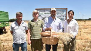 Başkan Yılmaz Siyez Buğdayı hasadına katıldı