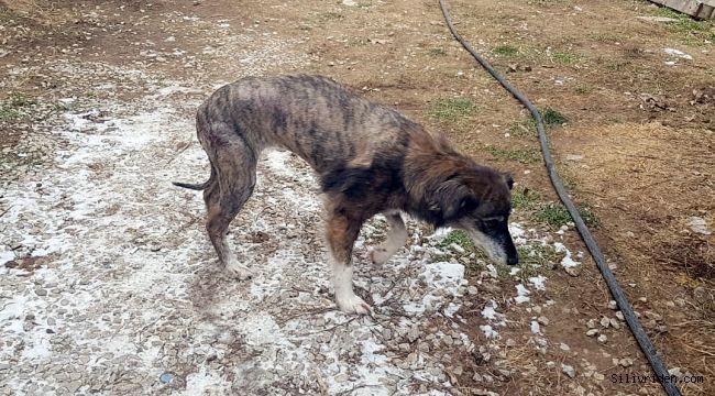 Kurşunlanarak felç kalan köpek artık koşuyor
