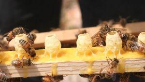 Arı sütünün faydaları neler ömrü uzatan mucizevi besin!