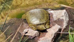 Nesli tükenen Fırat kaplumbağası Beylikdüzü'nde bulundu