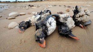 Rusya'da 8 bin ölü kuş sahile yağdı, dünya yaşananlara
